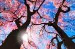 pinktreeblossom