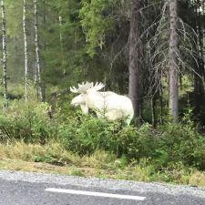 whitemoose