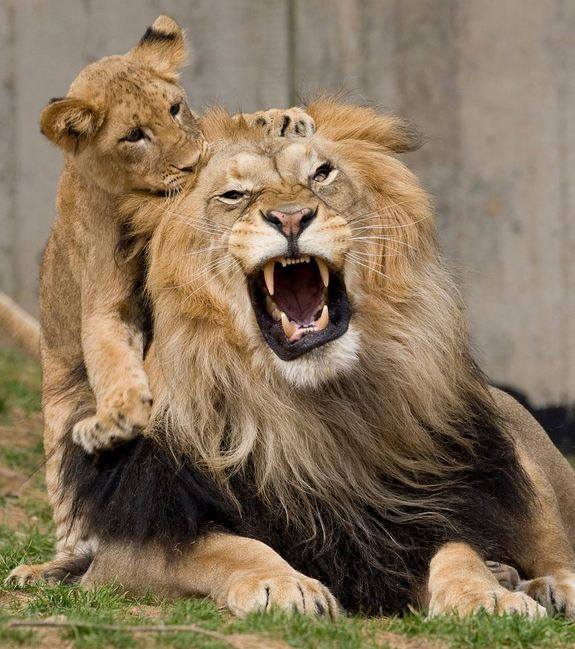 liondaddycub
