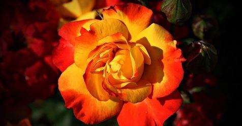 orangeyellowrose